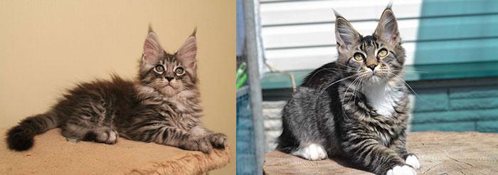Котенок и кот мейн кун