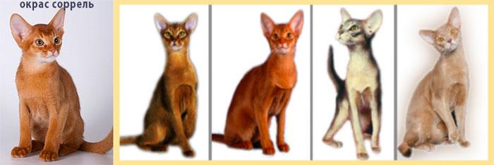 Окрас соррель абисанские кошки и окрасы