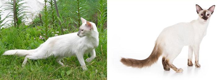 Кошки балийские