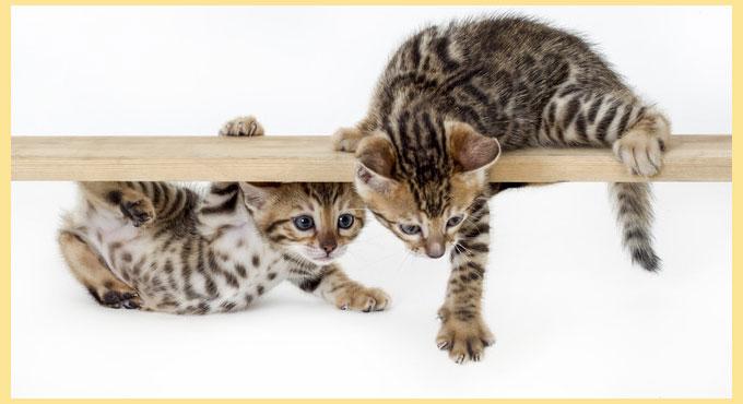 Бенгальские котята на палке
