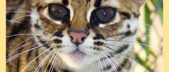 Окрас бенгальских котов