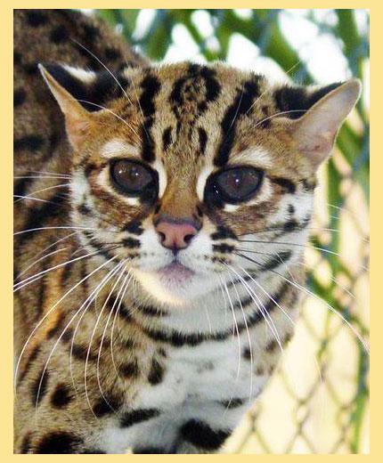 Снежная Бенгальская кошка | Всё об элитных породах кошек WLCAT.RU | 520x430