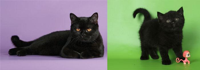 Кошки британские черные