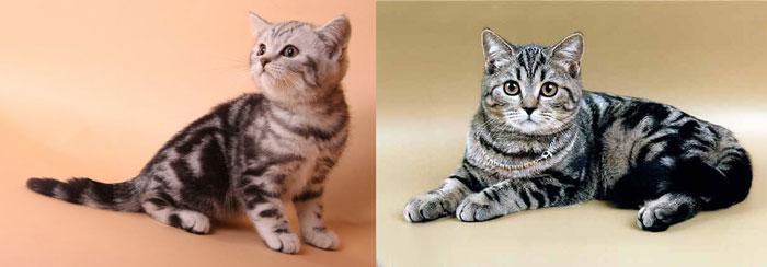 Кошки британские мраморные