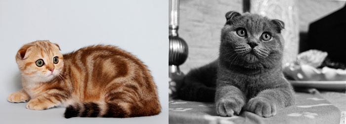 Кошки британские вислоухие