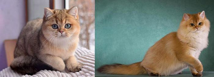 Кошки британские золотые