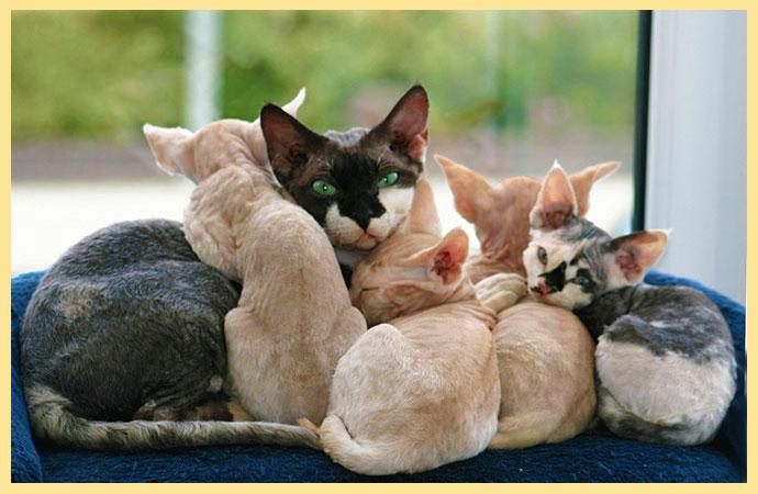 Кошка с котятами девон рекс