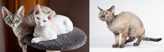 Кошки и котята девон рекс