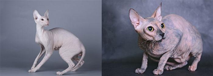 Кошки донской сфинкс