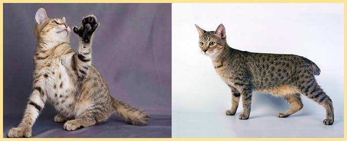 Кошки пиксибоб