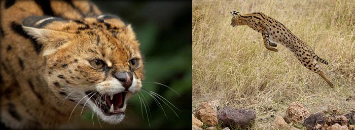 Коты сервал шипят и прыгают