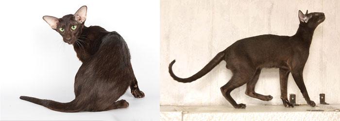 Гавана ориентальные кошки