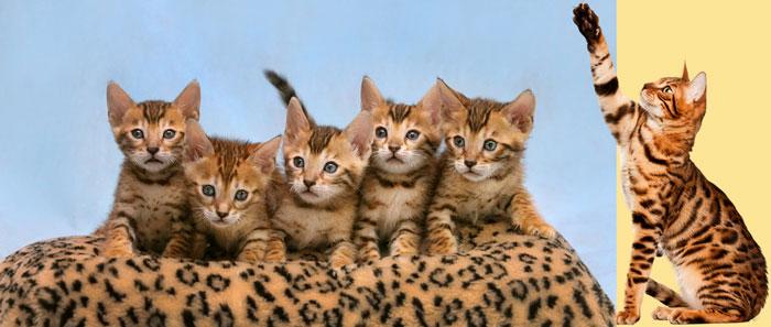 Бенгальские кот и котята