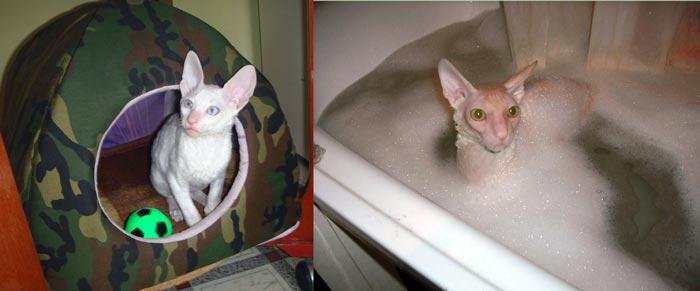 Корниш-рекс в ванной и в домике