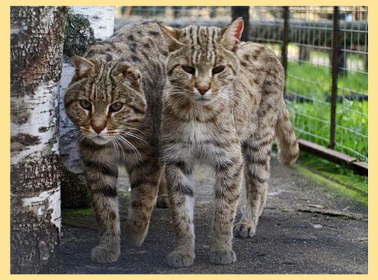 Камышковые коты