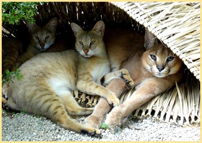 Коты камышковые в домике