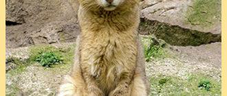 Дикий камышковый кот