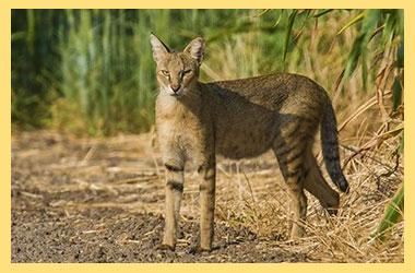 Кот дикий камышковый