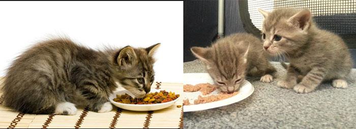 Питание котят из блюдец