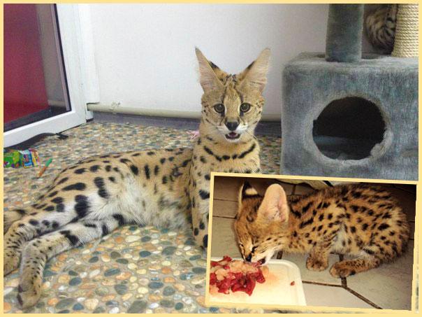 Коты сервалы и кормление