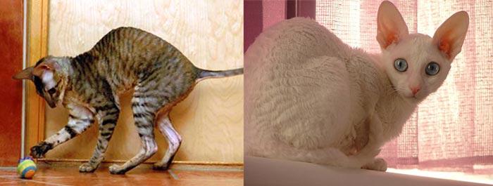Кошки корниш-рекс