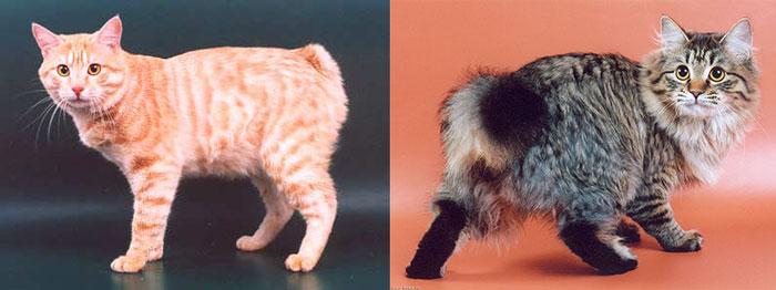 Курильские бобтейлы кошки