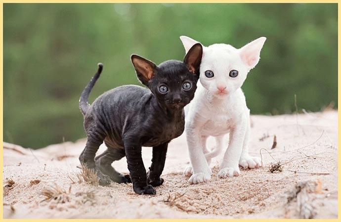 Котята корниш-рекс белый и черный