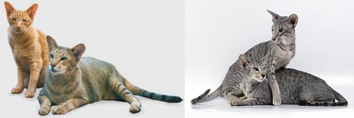 Кошки ориентальные короткошерстные