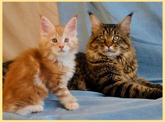 Кот и котенок мейн кун