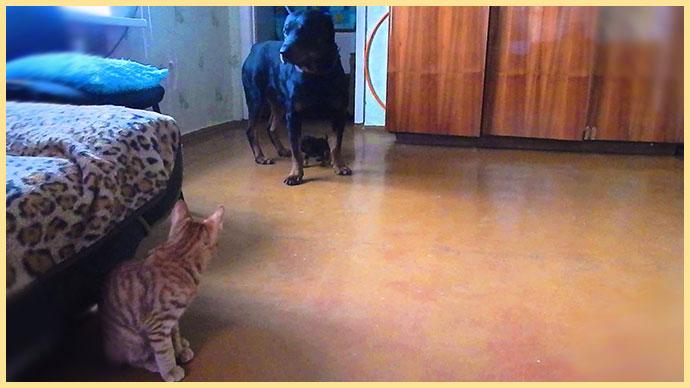 Бобтейл и собака в комнате