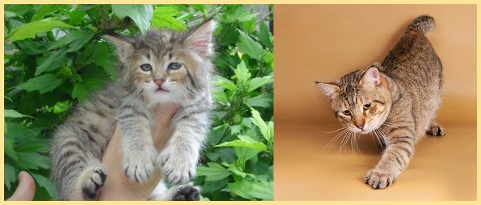 Котенок и кошка пиксибоб