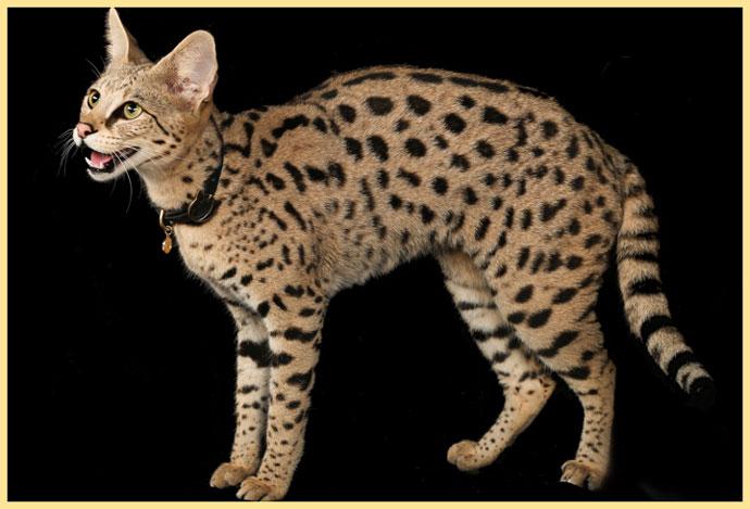 Кот саванна