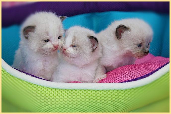 Котята рэгдолл в кроватке