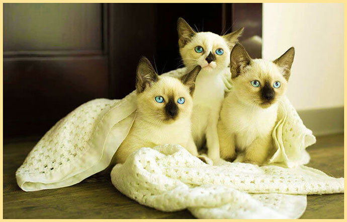 Котята сноу шу в покрывале