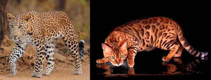 Леопрад и бенгальский кот