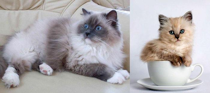 Кошка и котенок в чашке рэгдолл