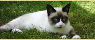 Кошка сноу шу в траве
