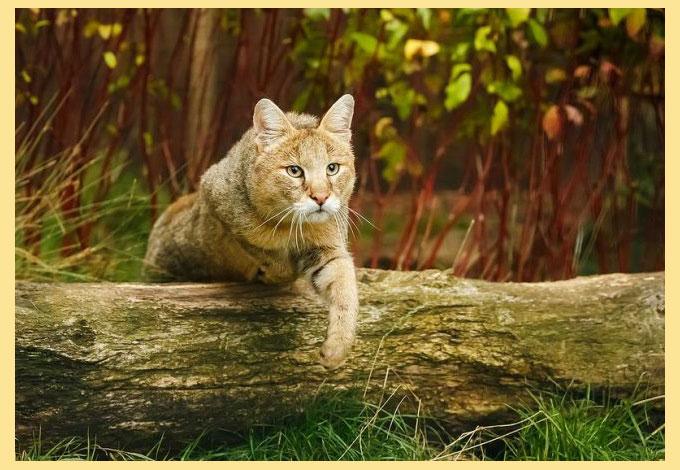 Камышковый кот прыгает через бревно