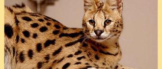 Бенгальская кошка саванна