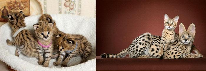 Кошка и котята саванна