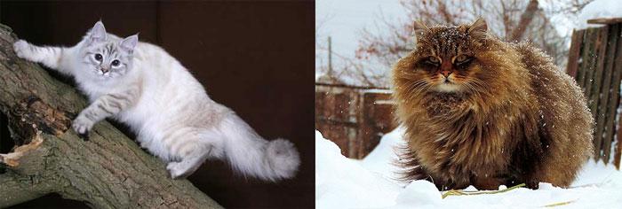 Сибирские кошки гуляют