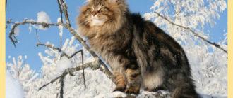 Сибирский кот на снежном дереве
