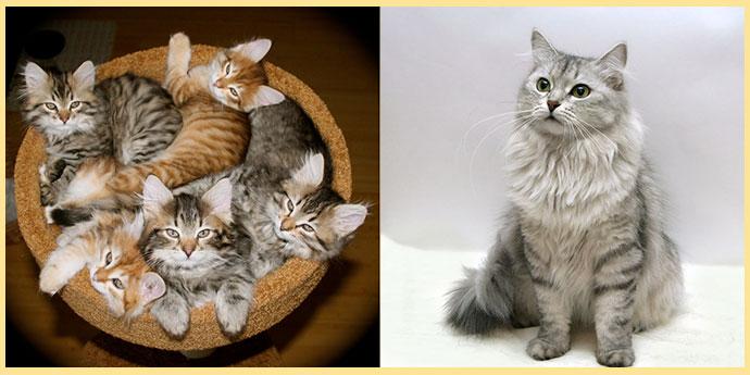 Сибирский кот и котята