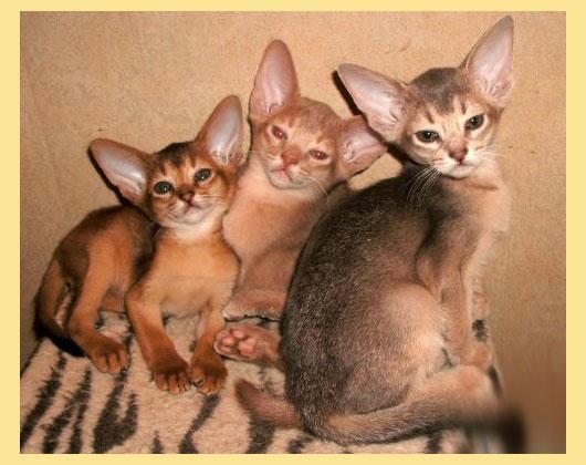 Абиссанские котята
