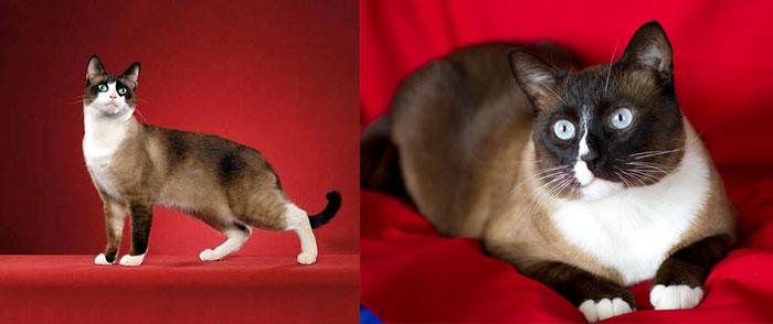 Кошки породы сноу шу