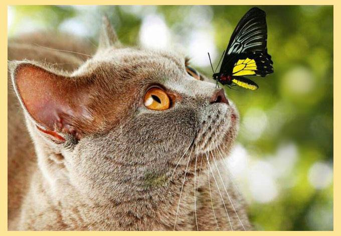 Британская кошка и бабочка