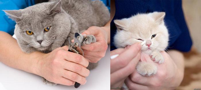 Уход за ногтями и глазами британских кошек
