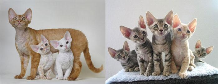Кошка и котята девон рекс
