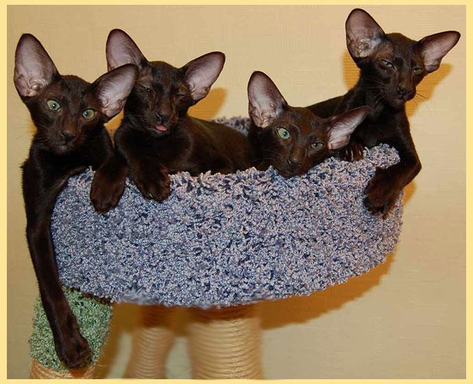 Ориентальные кошки в уголке для кошек