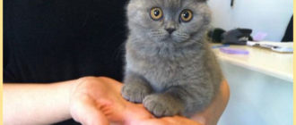 Котенок на ладошке шотландский вислоухий